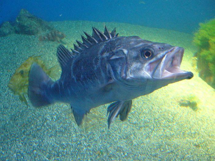 800px-Polyprion_americanus.2_-_Aquarium_Finisterrae.jpeg